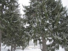 Norwegian Spruce